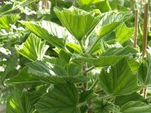 Géraniums (cucullatum de pélargonium) Photographie stock libre de droits