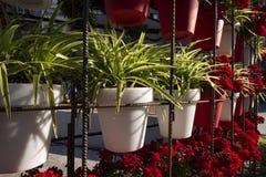 Géraniums dans le printemps, Murcie, Espagne Photographie stock libre de droits