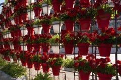 Géraniums dans le printemps, Murcie, Espagne Image stock