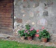 Géraniums fleurissants mis en pot contre un mur en pierre rustique Images libres de droits