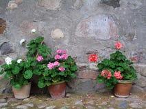 Géraniums mis en pot contre un mur en pierre rustique Image stock