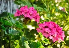 Géraniums roses Photo libre de droits