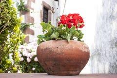 Géraniums rouges Photo stock