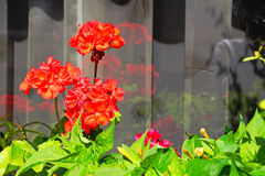 Géraniums rouges Images libres de droits