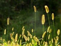 Gérmenes de la hierba Imagen de archivo libre de regalías