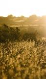 Gérmenes de la hierba en última luz del sol Imágenes de archivo libres de regalías