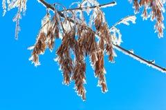 Gérmenes de un ceniza-árbol. Fotografía de archivo
