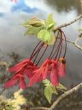 Gérmenes del árbol de arce Fotografía de archivo libre de regalías