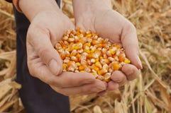 Gérmenes del maíz Foto de archivo libre de regalías