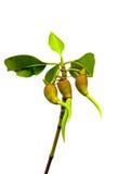 Gérmenes del mangle. Fotografía de archivo
