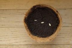 Gérmenes del pepino en plantador orgánico fotografía de archivo