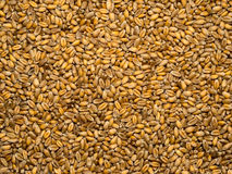 Gérmenes del trigo Foto de archivo libre de regalías