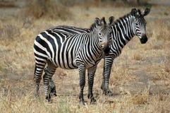 Gêmeo da zebra Imagem de Stock