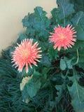 Gêmeo  flor fotografia de stock