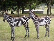 Gêmeos da zebra imagens de stock