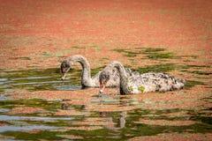 Gêmeos do cisne novo da cisne preta, Nova Zelândia fotos de stock royalty free