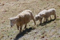 Gêmeos do cordeiro fotografia de stock royalty free