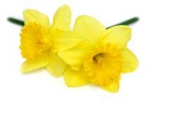 Gêmeos do Daffodil Imagem de Stock