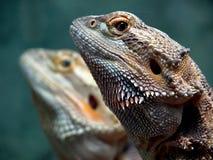 Gêmeos do dragão imagens de stock