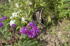 Gênero do áster de plantas de florescência constantes com a borboleta preta dos polyxenes de Swallowtail Papilio fotos de stock royalty free