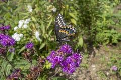 Gênero do áster de plantas de florescência constantes com a borboleta preta dos polyxenes de Swallowtail Papilio imagem de stock royalty free