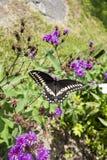 Gênero do áster de plantas de florescência constantes com a borboleta preta dos polyxenes de Swallowtail Papilio fotografia de stock royalty free