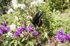 Gênero do áster de plantas de florescência constantes com a borboleta preta dos polyxenes de Swallowtail Papilio fotografia de stock