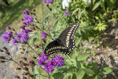 Gênero do áster de plantas de florescência constantes com a borboleta preta dos polyxenes de Swallowtail Papilio fotos de stock