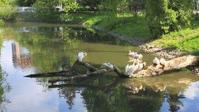 Gênero grande Pelecanidae dos pelicanos da família dos animais dos pássaros de água vídeos de arquivo