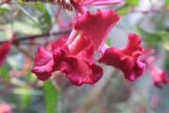 Gênero magenta roxo Celosia das flores do cristata do Celosia do rosa, woolflowers, crista Creasta Cocosului dentro para graden foto de stock royalty free
