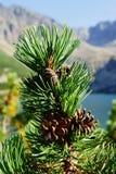 gór mugho sosny tatra Zdjęcie Royalty Free