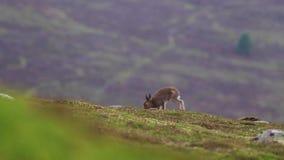 2 gór zając, Lepus timidus w Lipa bieg i karmieniu na skłonie, cairngorm NP, Scotland zbiory wideo