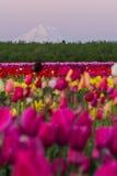 Góra kapiszon od tulipanowego gospodarstwa rolnego Zdjęcie Royalty Free