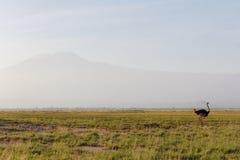 Góra Kilimanjaro od Amboseli Obraz Royalty Free