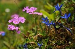 Góra kwitnie w Austriackich Alps Obraz Royalty Free