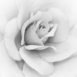 góra lodowa Rosa wzrastał fotografia royalty free