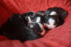 Góra psi szczeniaki w łóżku zdjęcia royalty free