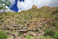 Góra Saguaro w Niedźwiadkowym jarze w Tucson, AZ Zdjęcia Royalty Free