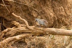 Góralka mały zwierzęcy obsiadanie na suchej gałąź Zdjęcie Royalty Free