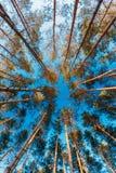 Górne gałąź drzewa W Iglastym lesie Obrazy Royalty Free