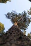 Górne gałąź drzewo, sosnowy widok spod spodu Fotografia Royalty Free