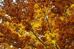 Górne gałąź jesienni drzewa Obraz Royalty Free