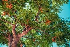 Górne gałąź tropikalny drzewo Obraz Royalty Free