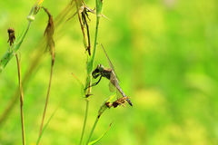 Górniczy dragonflies Fotografia Stock
