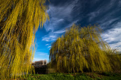 Górować płacze wierzbowych drzewa wzdłuż Kanałowego Lea w Londyn Zdjęcia Stock