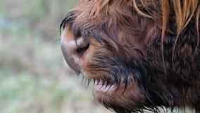 Górscy bydło - Szkocki bydło traken z osobliwie długimi rogami i długi falistym - Bo Ghaidhealach, Heilan gruch - zbiory
