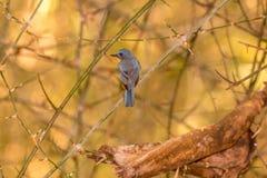Górscy wzgórzy błękity Ptasi w w połowie lesie Fotografia Royalty Free
