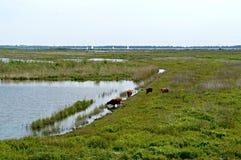 Górska bydło woda pitna na Holenderskiej wyspie Tiengemeten Zdjęcia Stock