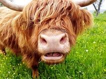 Górska krowa żuć trawy Zdjęcia Royalty Free