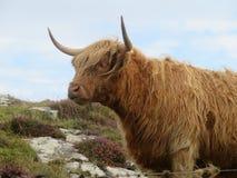Górska krowa Zdjęcia Stock